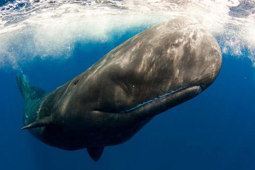 ADEX-Sperm-Whale-Azores