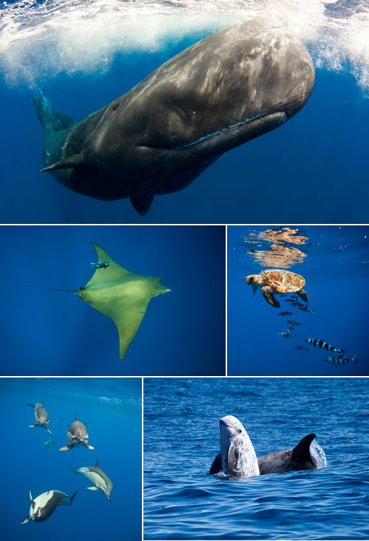 Azores Sperm whales and dolphins