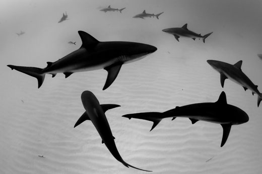 Deep-Indonesia-Award-Sharks
