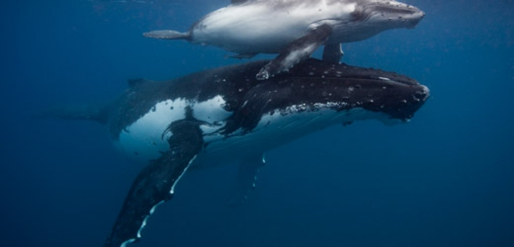 Humpback whale Mother and calf