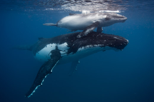 Humpback whale Mother and calf Tonga 2016