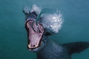 articles-leopard-seal-underwater-antartica
