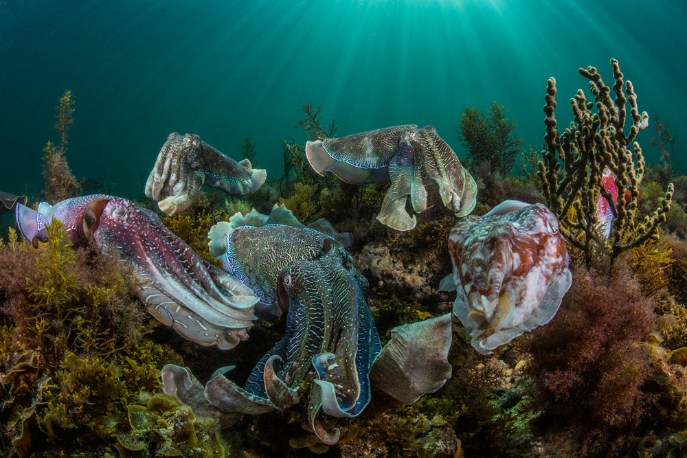 Cuttlefish Aggregation photo by Scott Portelli awarded at Sony World Photography Awards