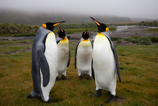 WPGA-King-Penguins
