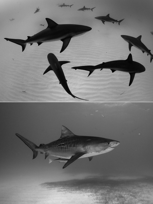 Eliat Red Sea images of the world Competition - Sharks