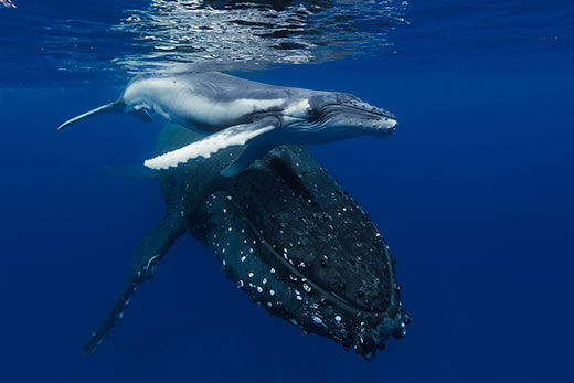 humpback whale new born - Asferico competition