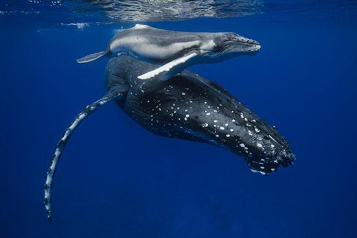 new born whale calf