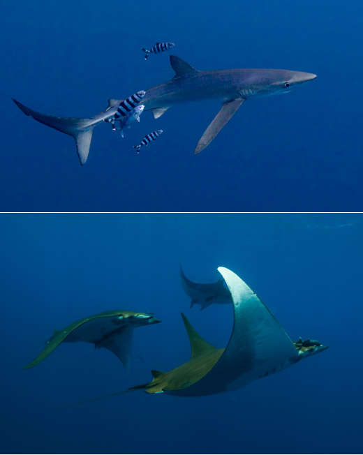 Blue shark & mobula rays in the Azores on the Blue Shark, Mako & Mobula tour with Scott Portelli
