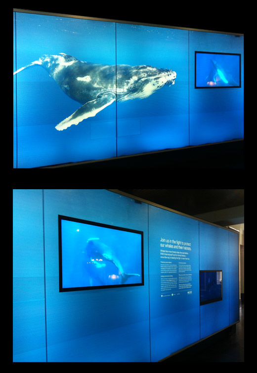 Humpback whale exhibition for IFAW at Customs House Sydney