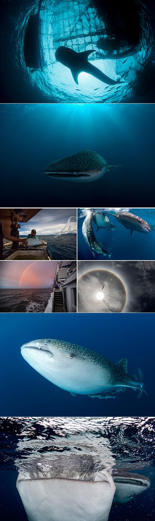 whale sharks Cendrawasih Bay