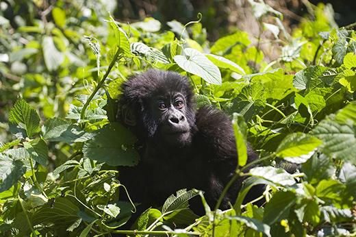 Gorilla Trekking Uganda Rwanda 2016