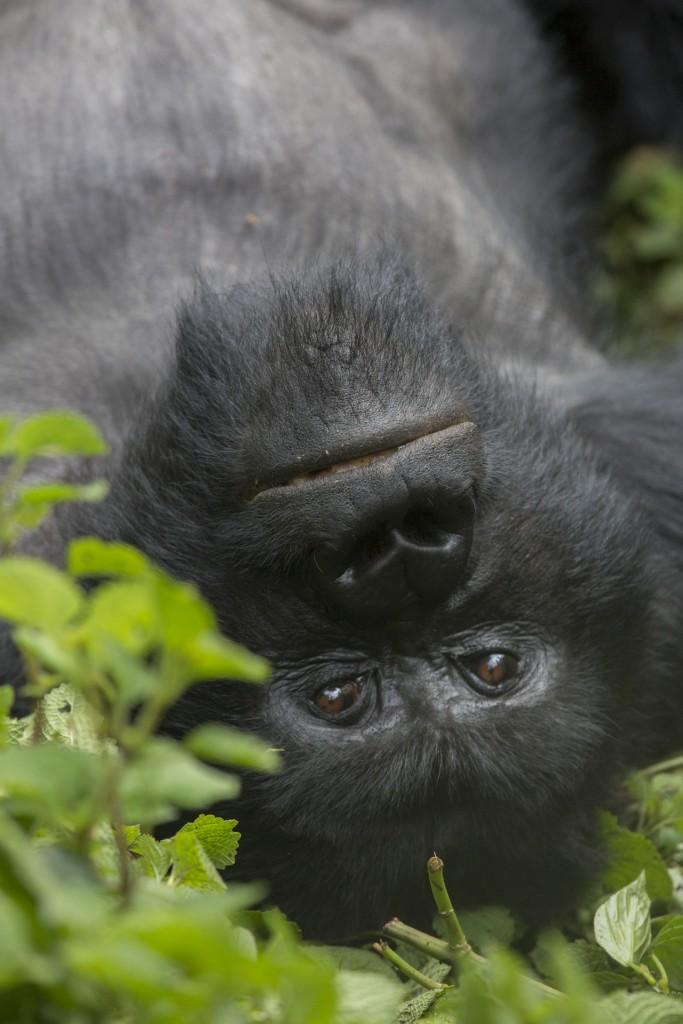 Gorilla Trekking 2018