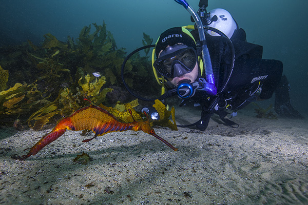 Weedy Sea Dragon and scuba diver underwater
