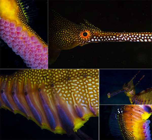Weedy Sea Dragons closeups by underwater photographer Scott Portelli