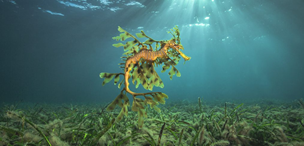 leafy sea dragon floating above seagrass with light rays in the background by underwater photographer Scott Portelli