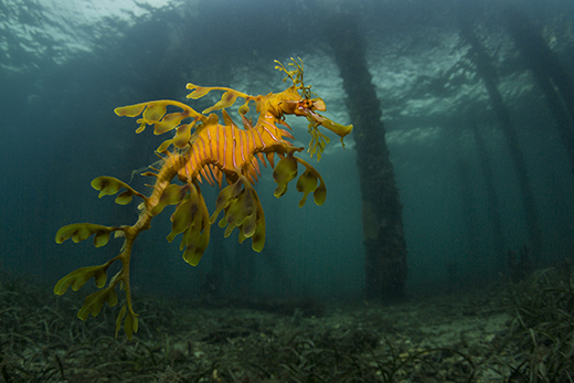 A leafy sea dragon photographed by Scott Portelli in South Australia