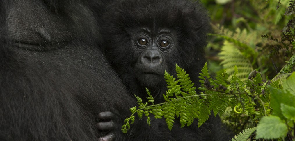 closeup of a baby gorilla holding onto its mother by photographer Scott Portelli
