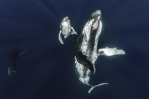 articles-humpback-whale-mother-calf-swimming-with-whales-tonga