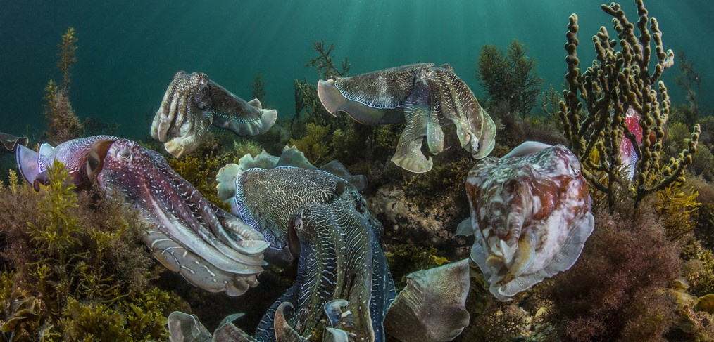 giant australian cuttlefish mating aggregation, award winning image by Scott Portelli