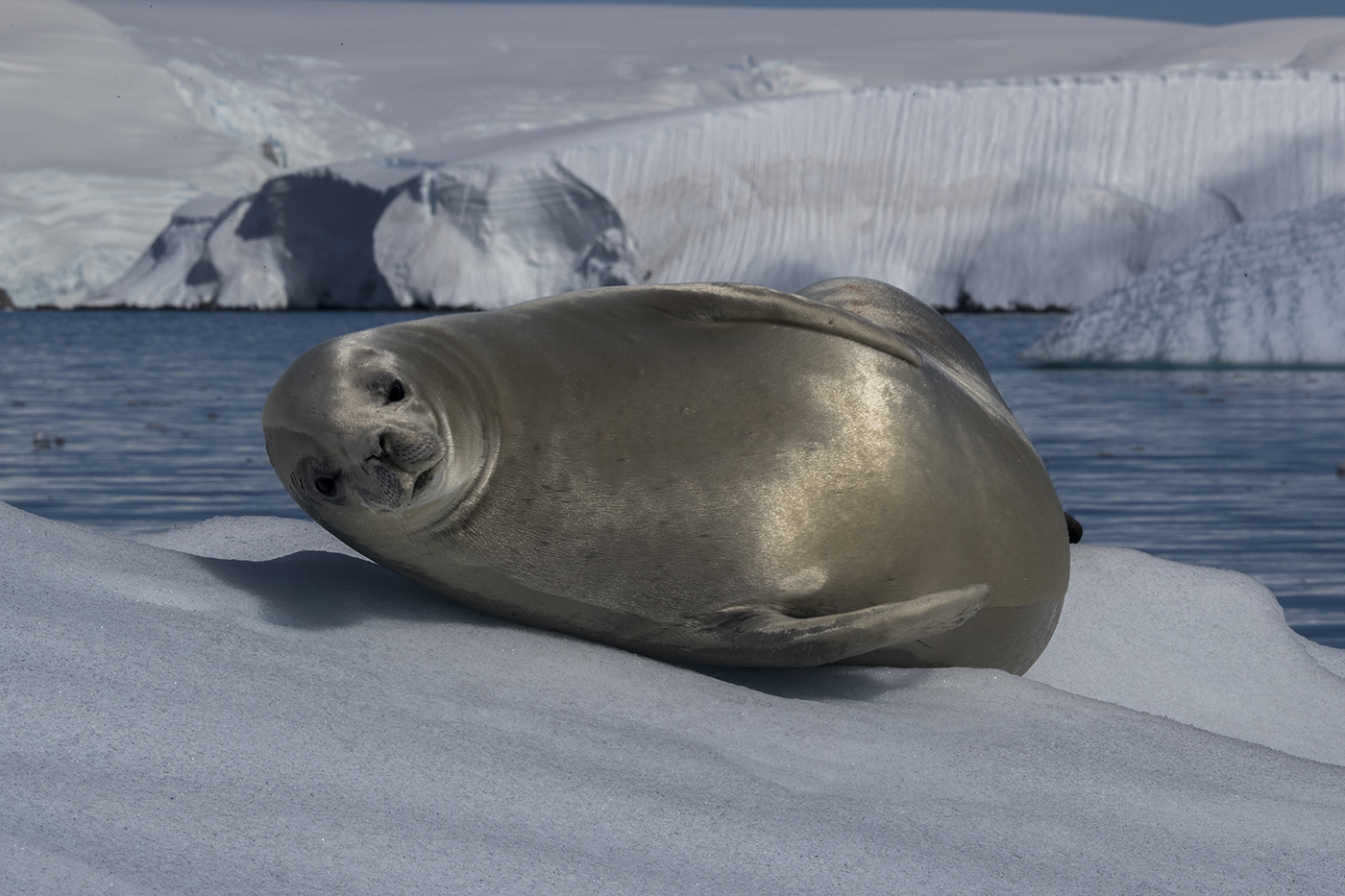 crabeater seal in Antarctica by wildlife photographer Scott Portelli