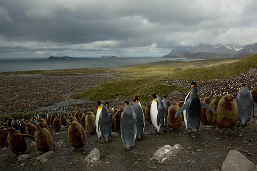 king penguin colony with chicks and mountains on sub-antarctic islands