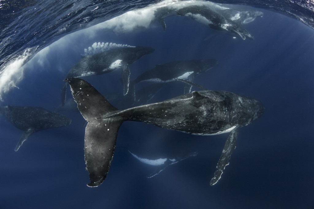 heat run humpback whales underwater
