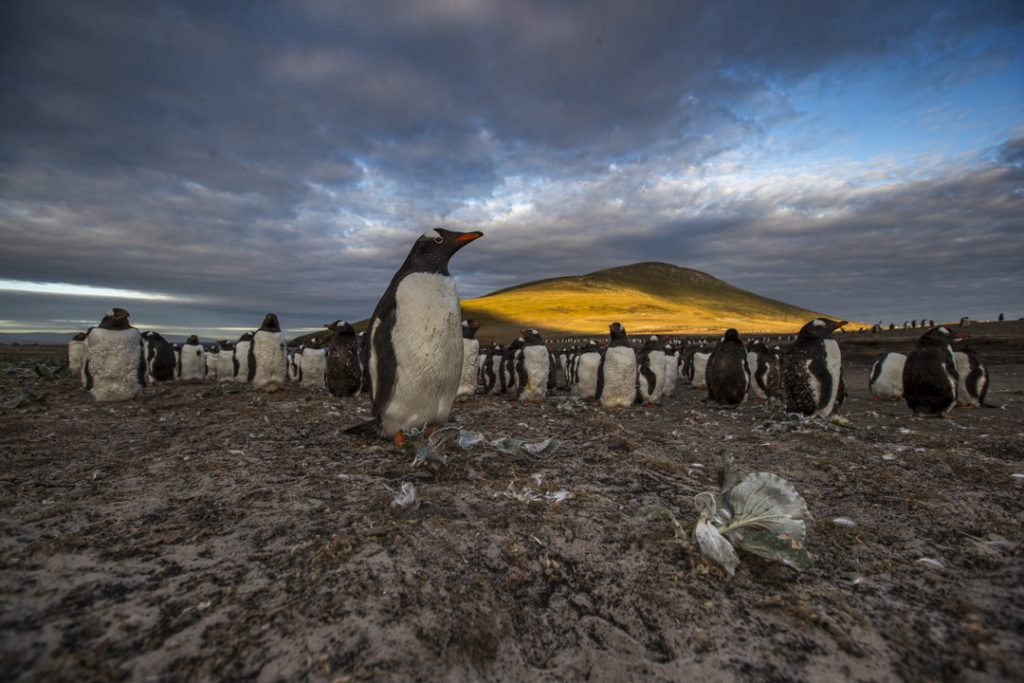 colony of penguins on a beach in the Falkland Islands