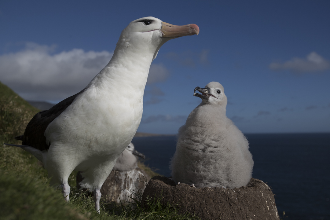 albatross parent and chick in the falklands