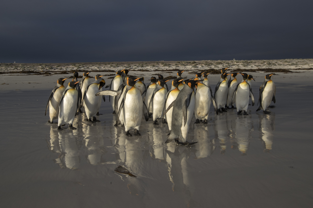 penguins walking across the sand in the falklands