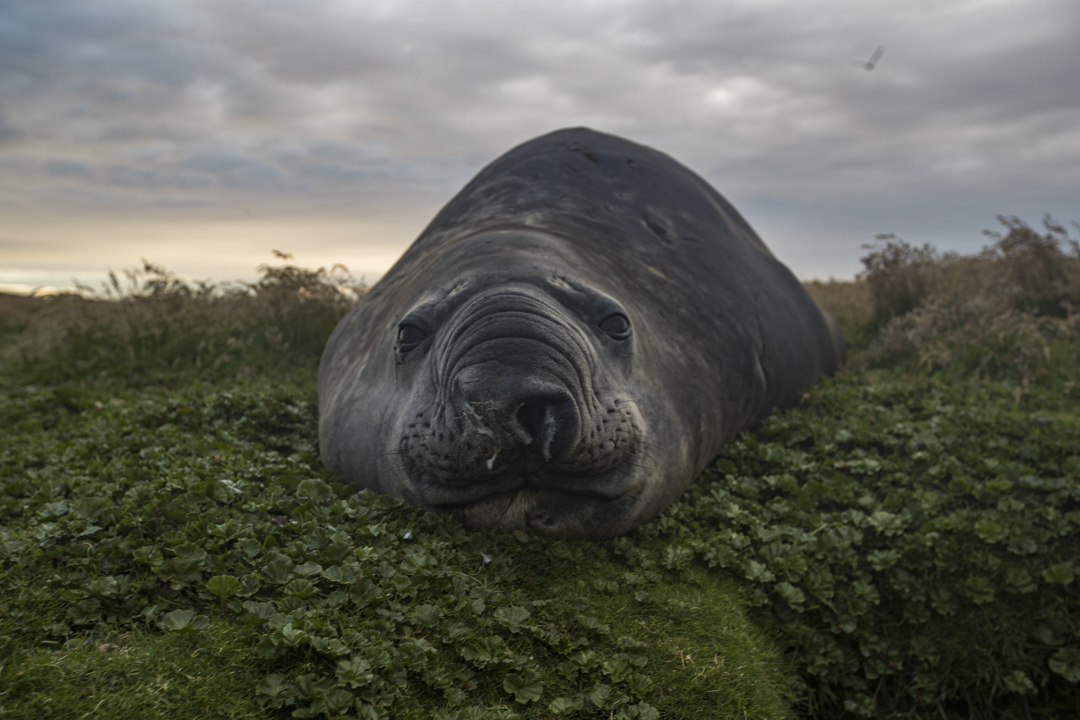 elephant seal face to face in the falklands