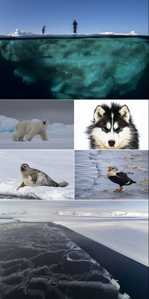 arctic expedition with scott portelli collage including polar bears, wolves, ice and seals
