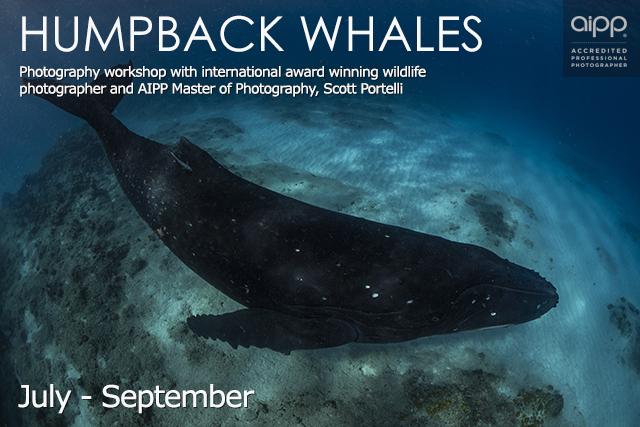 Humpback Whales Ningaloo