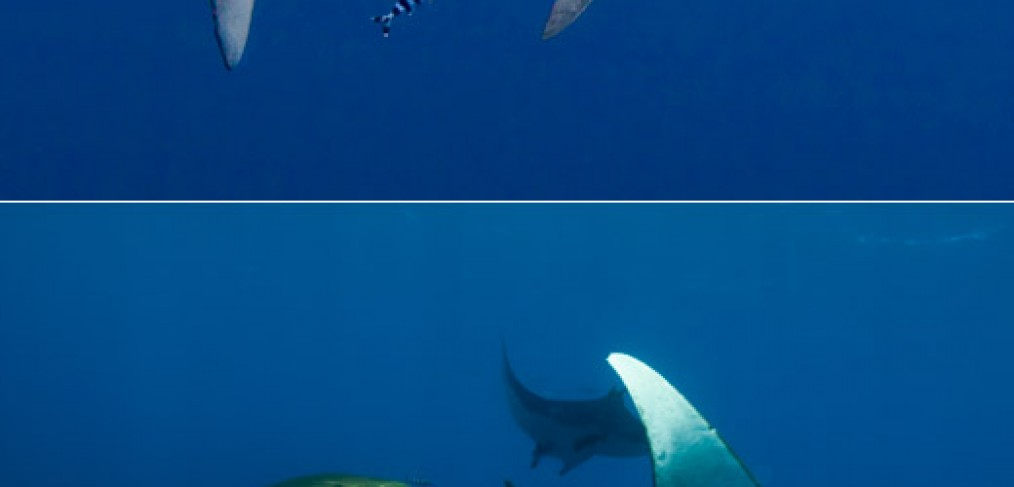 Blue shark & mobula rays in the Azores