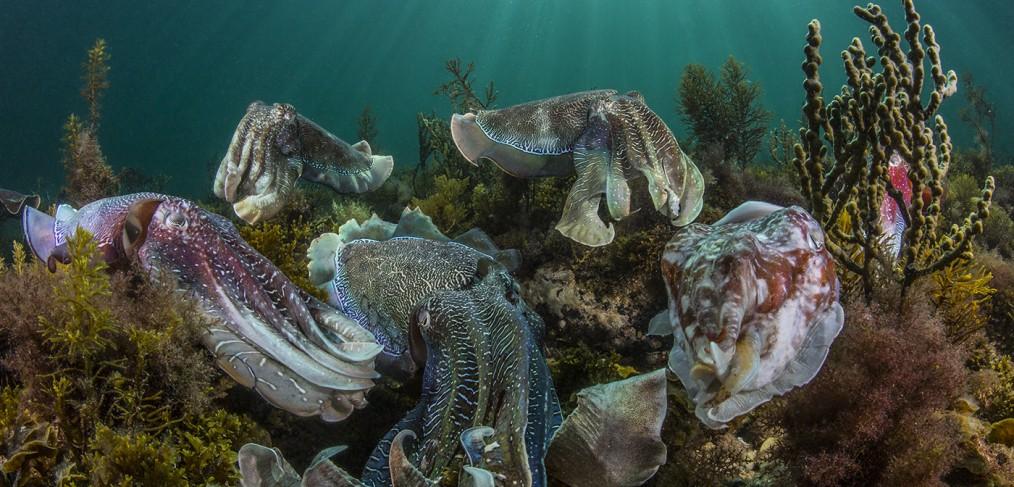giant australian cuttlefish mating aggregation, award winning image by Scott Portelli