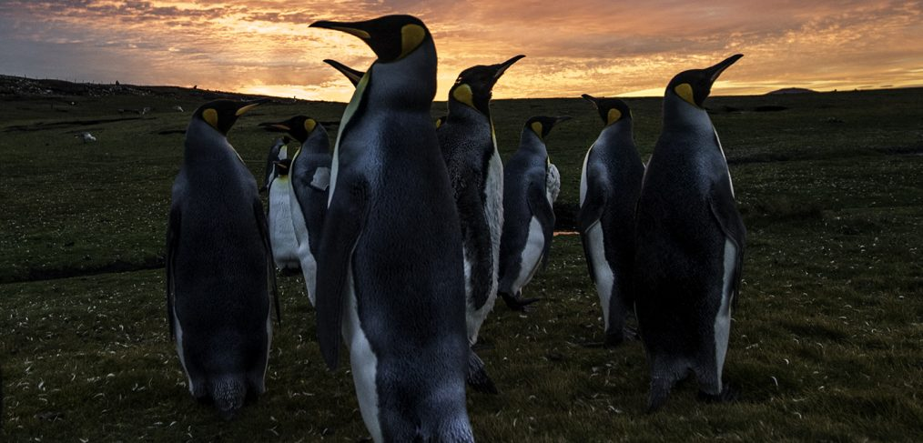 King penguins at sunset by wildlife photographer Scott Portelli