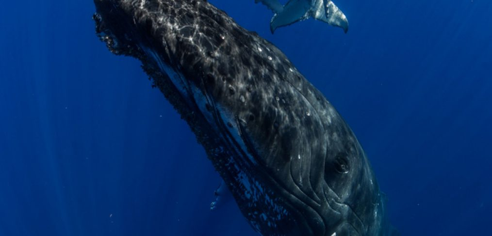 humpback whale mother and calf photographed on tour with scott portelli in