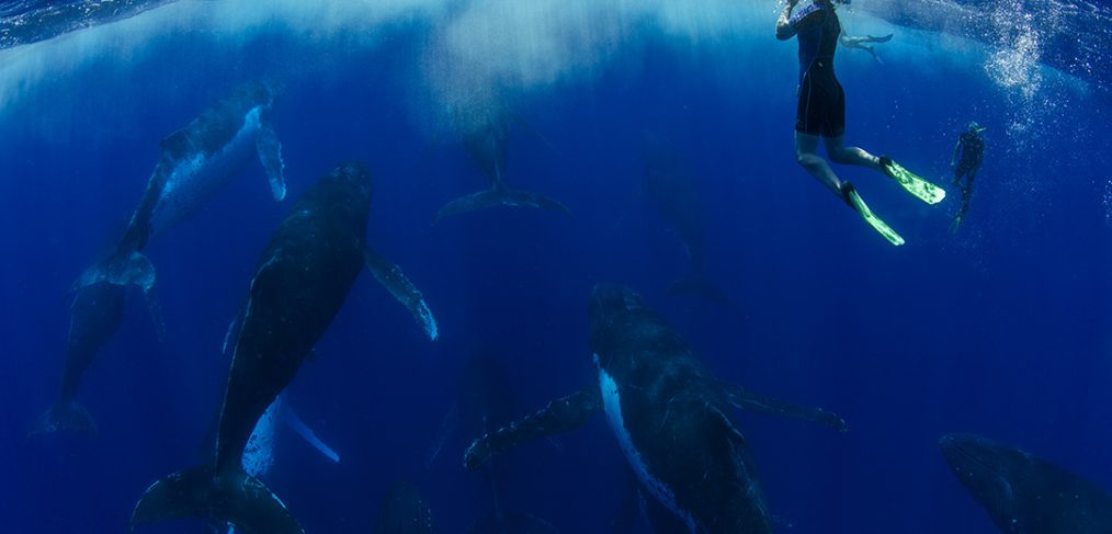 heat run humpback whales tonga