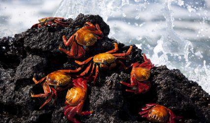 crabs galapagos