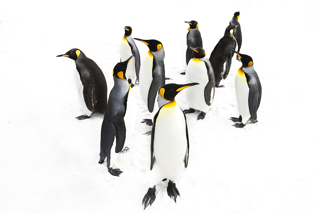 King Penguins on White Sand